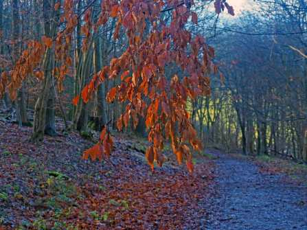 Beech leaves, Cowcroft Wood